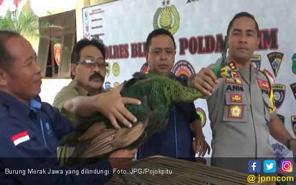 Oknum Perhutani Pelihara Empat Merak Jawa Secara Ilegal - JPNN.com