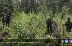 Di Aceh, Ganja Dipakai Warga untuk Mengusir Nyamuk dan Hama - JPNN.com