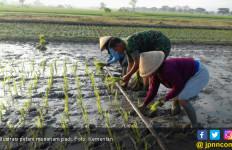 Musim Kemarau, Luas Tanam Padi Sumsel Optimistis Capai 200.000 Hektar - JPNN.com