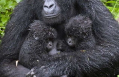 Bayi Kembar Gorila Lahir di Rwanda - JPNN.com