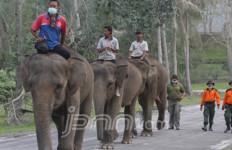 Gajah Sumatera Terancam Punah, Diburu Manusia, Diserang Virus - JPNN.com
