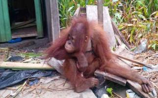 Bayi Orangutan Telantar dengan Luka Tembak, Nggak Tega - JPNN.com