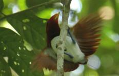Oh Tidak..Burung Cenderawasih Semakin Terancam Punah - JPNN.com