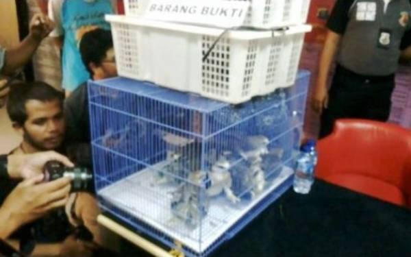 Jual Elang Tikus di Facebook, Pemuda Ini Mendekam di Penjara - JPNN.com