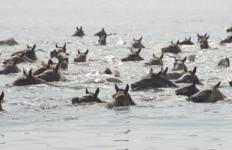 Lihat nih, Ratusan Kuda Pony Berenang Menyebrangi Pulau - JPNN.com
