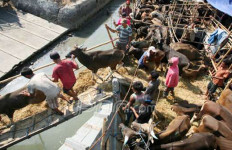 30 Sapi Bupati Subang yang Disita KPK Laris Dilelang - JPNN.com