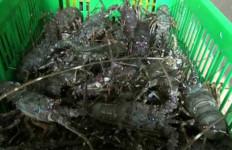 Penyelundupan 71.250 Ekor Benih Lobster Senilai Rp 2,8 miliar Berhasil Digagalkan - JPNN.com