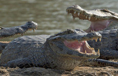 Lagi Asyik Mancing Ikan Malah Disambar Buaya - JPNN.com