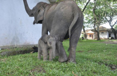 Gajah Dita Melahirkan dengan Selamat, Betina, 81 Kg, 98 Cm - JPNN.com