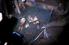 Terbongkar! Rumah Bercat Biru Itu Kurung Puluhan Burung Langka - JPNN.com