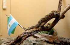 Boa Constrictor Berbendera Brazil - JPNN.com