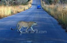 Memburu Badak, Yang Keluar Leopard - JPNN.com