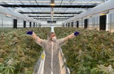 Kebun Ganja Terbesar di Australia Akan Segera Dibuka - JPNN.com