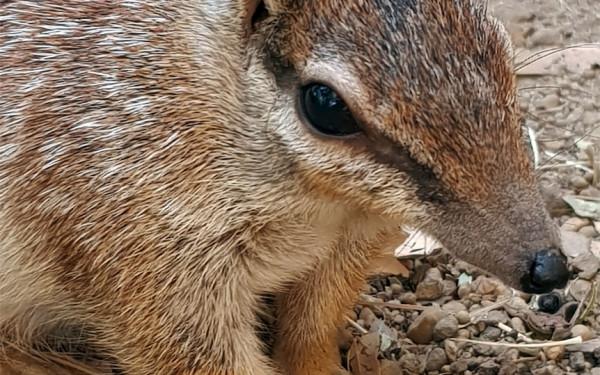 RIP Kirra, Numbat Betina yang Selamatkan Spesiesnya dari Kepunahan - JPNN.com