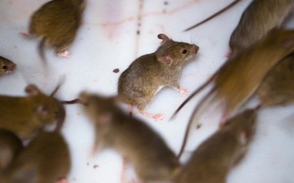 Wabah Hama Tikus Teror Petani Australia, Bagaimana Menghentikannya? - JPNN.com
