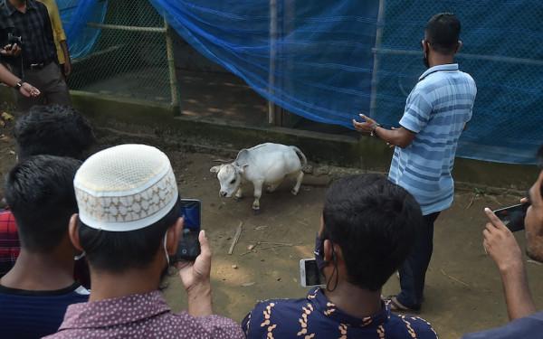 Ribuan Orang Bangladesh Abaikan Bahaya COVID-19 demi Sapi Terkecil di Dunia - Slot Informasi Online