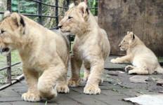 3 Bayi Singa nan Lucu Milik Taman Safari II Prigen - JPNN.com