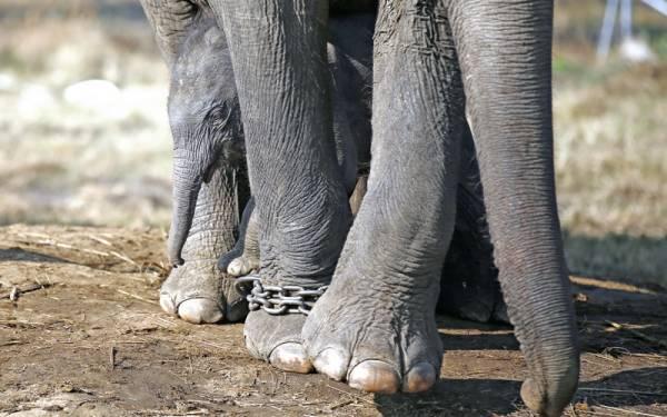 Perempuan India Tewas Diserang Gajah di Nepal - JPNN.com