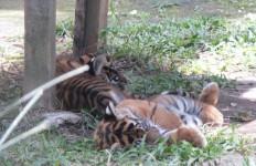 Menteri LHK Resmikan Pusat Rehabilitasi Harimau Sumatera Swasta Pertama - JPNN.com