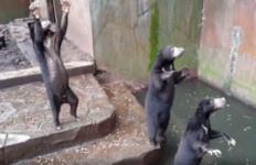 Penyadap Karet Diterkam Beruang Madu, Tulangnya Sampai Remuk - JPNN.com