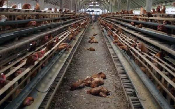 Ternyata Puluhan Ayam Mati Bukan karena Flu Burung - JPNN.com