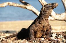Pulau Komodo Dipastikan Tetap Dibuka Untuk Wisatawan - JPNN.com