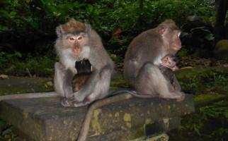 Kawanan Monyet Liar Resahkan Warga Perumahan Villa Bukit Indah Batam - JPNN.com
