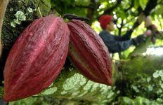 Pemerintah Ajak Petani Garap Hilirisasi Kakao - JPNN.com
