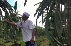 700 Pohon Buah Naga, Keuntungan Rata-rata Rp 20 Juta per Bulan - JPNN.com