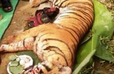 Heboh, Harimau Sumatera Masuk Kampung, Ya Begini Jadinya... - JPNN.com