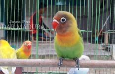 4 Burung Milik Angga Kurniawan Rp16 Juta Raib Digondol Maling - JPNN.com