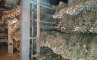 Kejar Target Swasembada, Kementan Genjot Produksi Bawang Putih di Sukabumi - JPNN.com