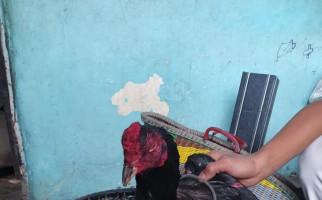 Lokasi Judi Sabung Ayam Digerebek, Tiga Pria Paruh Baya Ditangkap - JPNN.com