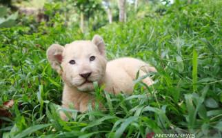 Di Tengah Pandemi Corona, Bayi Singa Putih Lahir di TSP - JPNN.com
