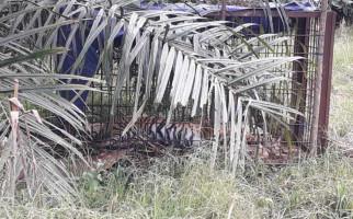 Harimau Sumatera Ditemukan Mati - JPNN.com