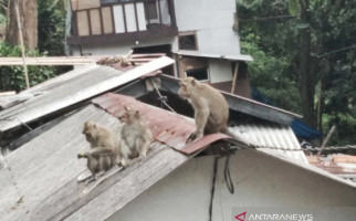 Lihat, Monyet Liar Masuk Permukiman Warga, Ada yang Mati - JPNN.com