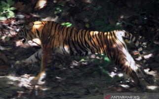 Tiga Harimau Sumatera Teror Warga Aceh Tengah - JPNN.com