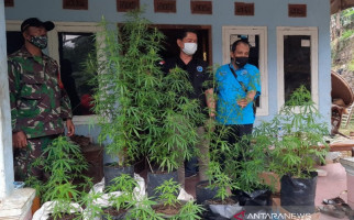 BNN Telusuri Informasi Ada Kebun Ganja di Tasikmalaya, Siapa yang Menanam? - JPNN.com