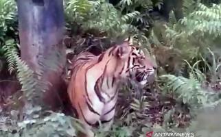 Mencekam, Harimau Sumatera Masuk ke Permukiman, Memangsa Anjing Lalu Tidur di Pinggir Jalan - JPNN.com