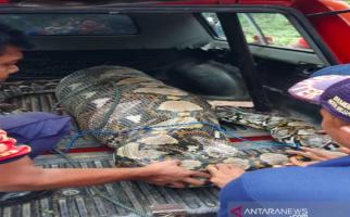 Ular Piton 7 Meter Mangsa Anak Sapi, Lihat Bentuknya Jadi Kayak Begini - JPNN.com