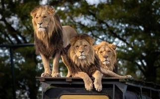 Kondisi India Makin Ngeri, 8 Singa juga Positif COVID-19 - JPNN.com