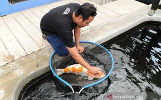 Bisnis Ikan Koi Masih Menjanjikan, Berminat? - JPNN.com