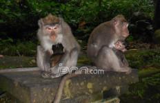 Rombongan Monyet dan Tanda Bencana - JPNN.com