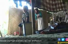 Miris...Keluarga Ini Tinggal di Kandang Sapi - JPNN.com