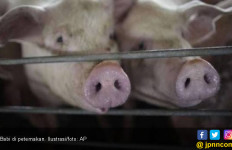 Begini Jurus Kementan Hadapi Ancaman Demam Babi Afrika - JPNN.com