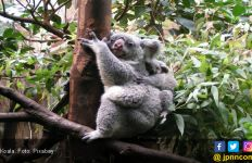 Ya Ampun, Setengah Populasi Koala New South Wales Tewas Akibat Karhutla - JPNN.com