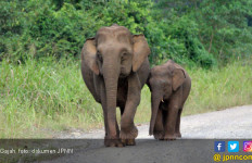 Gajah Liar Mengamuk di Jambi, 9 Hektare Kebun Warga Rusak - JPNN.com