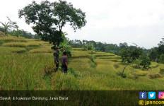 Pasokan Melimpah, Harga Beras di Jawa Barat Stabil  - JPNN.com