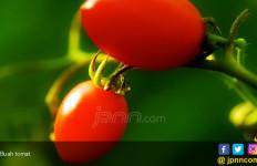 Atasi Kulit Kusam dan Berkomedo dengan Jus Tomat - JPNN.com