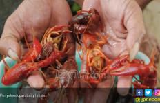 Kasus Penyelundupan di Laut Didominasi Benih Lobster dan Kepiting Bertelur - JPNN.com
